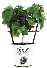 Vitis x Pixie - Pinot Meunier Purple, Miniature Grape Mini-Me