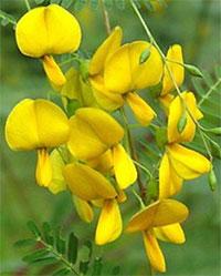 Sesbania aculeata (bispinosa), Danchi - seeds