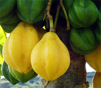 Carica pubescens, Mountain Papaya - seeds  Click to see full-size image
