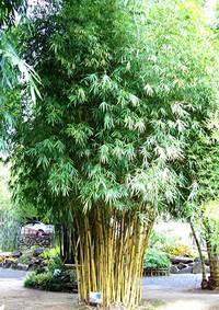 Bambusa guangxiensis - Chinese Dwarf Bamboo  Click to see full-size image