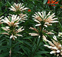 Leonotis leonurus white - seeds  Click to see full-size image