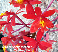 Epidendrum radicans - Red Raspberry Reed Ground Orchid, Red Glow  Click to see full-size image