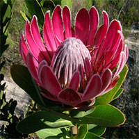 Protea compacta - seeds