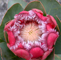 Protea grandiceps - seeds