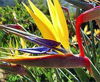 Strelitzia reginae - Mandelas Gold Bird of Paradise (Yellow)Click to see full-size image