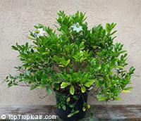 Gardenia x taitensis Nana - Dwarf Tahitian GardeniaClick to see full-size image