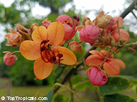 Cassia marginata - Red Shower Tree