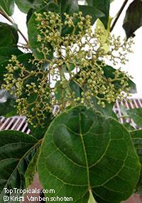 Premna serratifolia, PLa Cach  Click to see full-size image