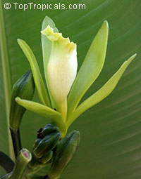 "Vanilla planifolia - Bourbon Vanilla Bean, 4-6"" cutting (green leaf)