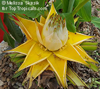 Musella lasiocarpa - Golden Lotus Banana  Click to see full-size image