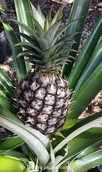 Ananas comosus - edible Smooth Cayenne Pineapple 