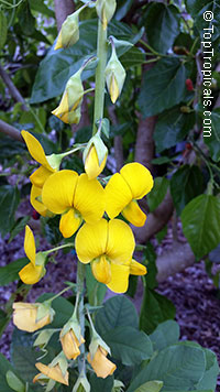 Crotalaria retusa, Devil Bean, Rattleweed, Shack Shack  Click to see full-size image