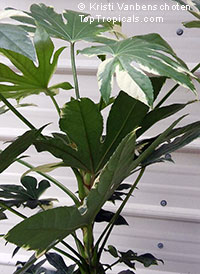 Fatsia japonica, Paperplant, Japanese Aralia