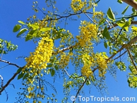 Cassia fistula - Golden Shower Tree  Click to see full-size image