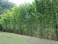 Bambusa textilis Gracilis - Graceful Bamboo, Slender Weavers  Click to see full-size image
