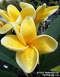 Plumeria Mr B (4714), grafted  Click to see full-size image