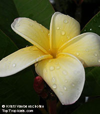 Plumeria Gred Gaew, grafted  Click to see full-size image