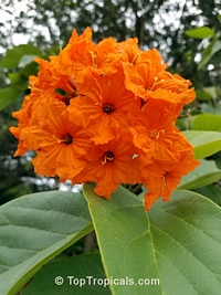 Cordia sebestena - Scarlet Geiger tree