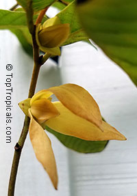 Friesodielsia desmoides, Wedding cananga  Click to see full-size image