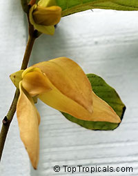 Friesodielsia desmoides - Wedding Ylang Ylang (Dwarf tree)  Click to see full-size image
