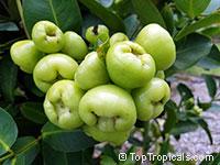 Syzygium samarangense, Syzygium javanicum, Eugenia javanica, Wax jamboo, Java apple, Macopa  Click to see full-size image