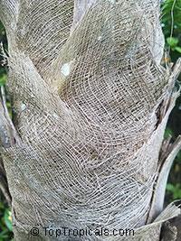 Cryosophila williamsii, Lago Yojoa Palm, Root-Spine Palm   Click to see full-size image