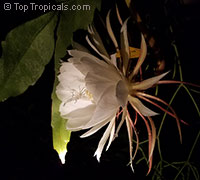 Epiphyllum oxypetalum, Belle de Nuit, Lady of the Night, Queen of the Night, Night blooming Cereus, Dutchman's Pipe  Click to see full-size image