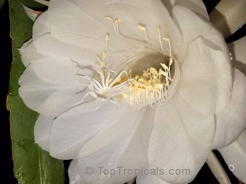 Epiphyllum oxypetalum belle de nuit lady of the night queen of epiphyllum oxypetalum belle de nuit lady of the night queen of the night mightylinksfo