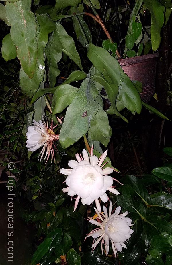 Epiphyllum Oxypetalum Belle De Nuit Lady Of The Night