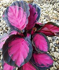 Calathea x picturata Crimson  Click to see full-size image