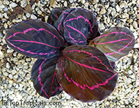 Calathea x roseopicta Dottie - Prayer Plant