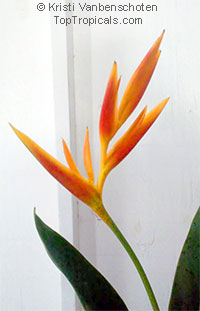 Heliconia psittacorum x spathocircinata Orange Torch  Click to see full-size image