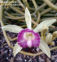 Vanilla dilloniana - Leafless Vanilla Orchid  Click to see full-size image
