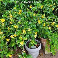 Gardenia tubifera Kula, Gardenia pfordii, Golden Gardenia, Kedah Gardenia  Click to see full-size image