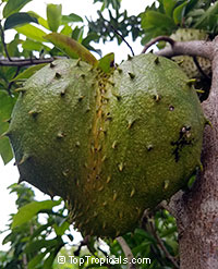 Annona muricata, Soursop, Guanabana, Graviola, Korosol, CorosolClick to see full-size image