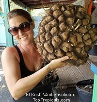 """Dioscorea mexicana Jumbo size - 10-12"""" caudex  Click to see full-size image"""