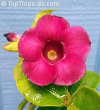 Allamanda x violacea Cabernet - Mini Red Allamanda  Click to see full-size image
