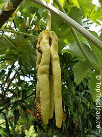 Cecropia peltata - YagrumoClick to see full-size image