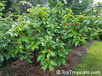 Bunchosia argentea, Peanut Butter Tree  Click to see full-size image