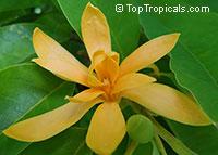 Magnolia champaca, Michelia champaca, Joy Perfume Tree, Huang Yu Lan, Safa  Click to see full-size image