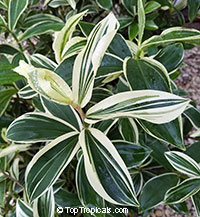 Costus arabicus (amazonicus) variegata - Variegated Spiral Ginger
