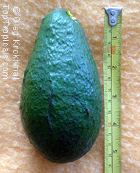 Persea americana - Avocado Fuerte, Grafted  Click to see full-size image