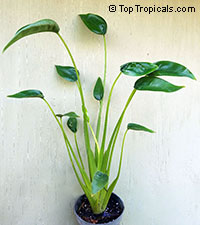 Alocasia Tiny Dancers  Click to see full-size image