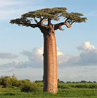 Adansonia grandidieri - Grandidiers Baobab  Click to see full-size image