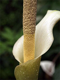 Amorphophallus Variabilis - Voodoo lilyClick to see full-size image