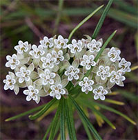 Asclepias verticillata - Whorled milkweed
