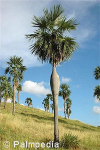 Coccothrinax spissa - Pregnant Palm