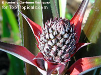 Ananas sp., Pineapple, Pina