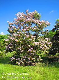 Tabebuia angustata, Roble Blanco, Blushing Bride, Narrow Trumpet Tree, White Wood  Click to see full-size image
