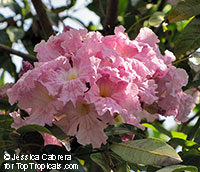 Tabebuia angustata - Blushing Bride  Click to see full-size image
